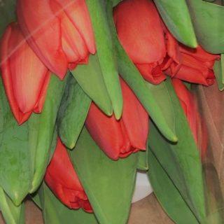 come coltivare tulipani