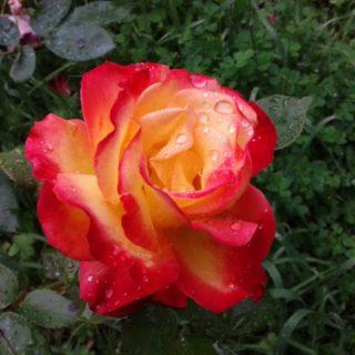 come potare rose