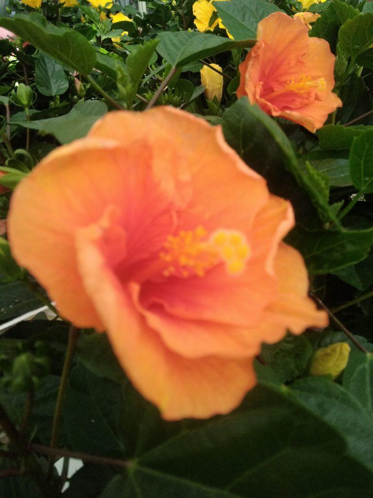ibisco rosa sinensis