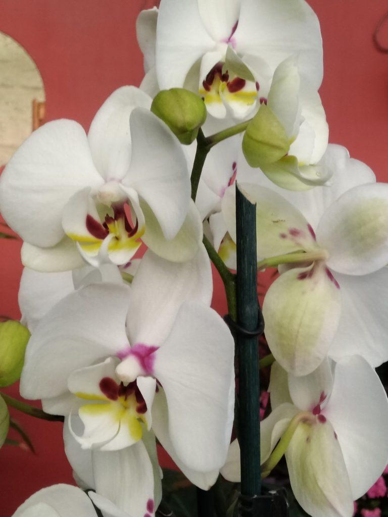 orchidea phalaenopsis potatura